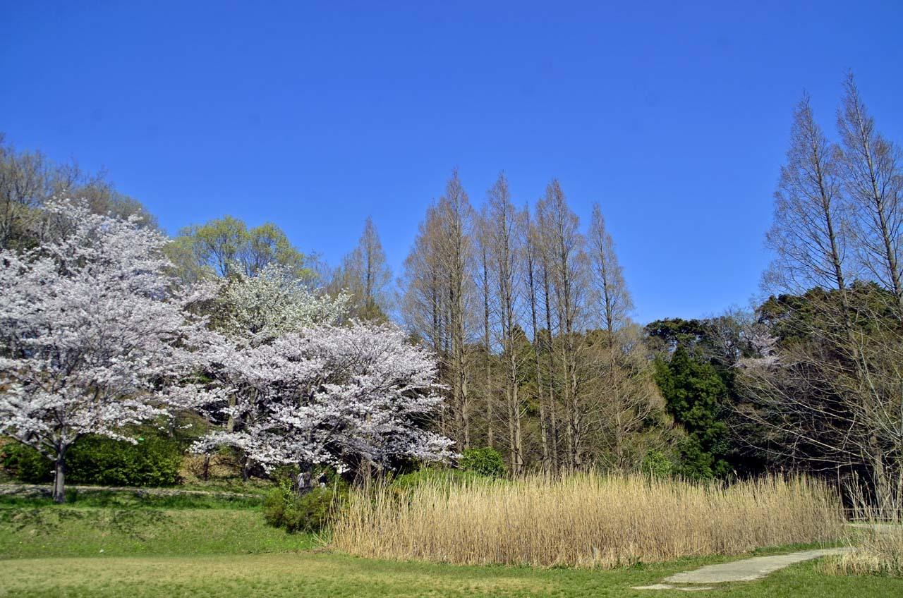 _D708616布佐の桜