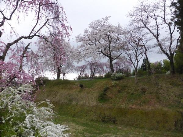 お土居のしだれ桜・全体