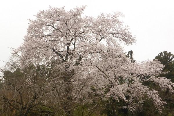 ③桜は枝垂れではなかった