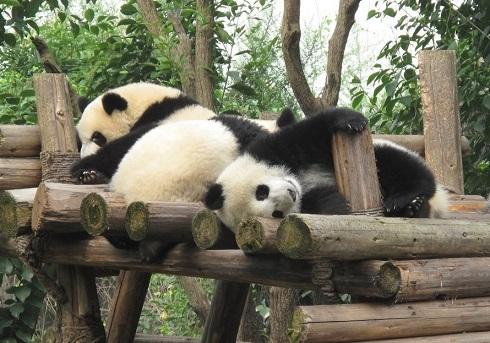 やる気のないパンダ2