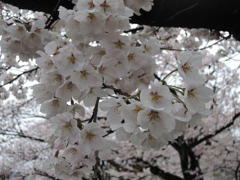 近所の公園の桜 その4