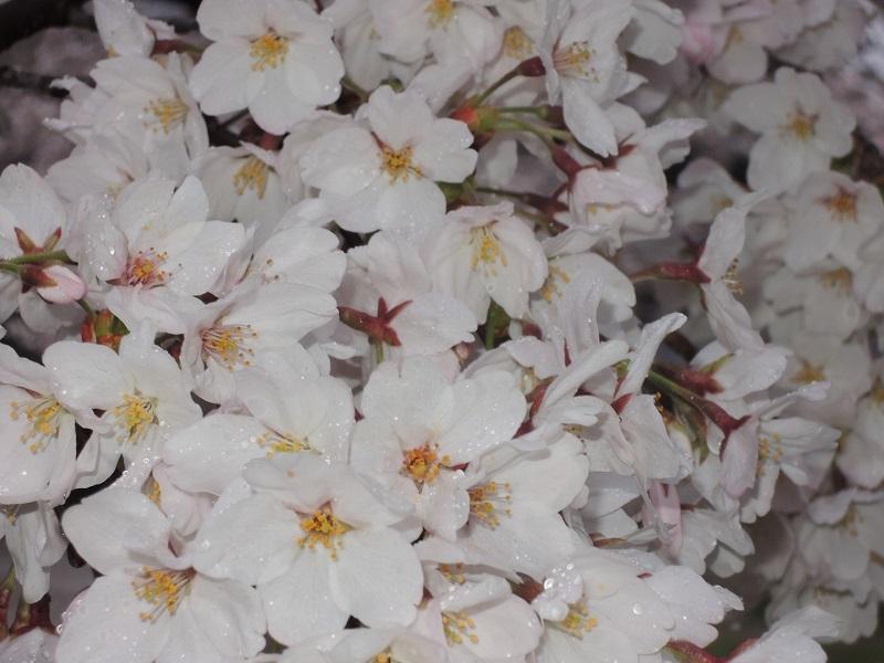 近所の公園の桜 その6