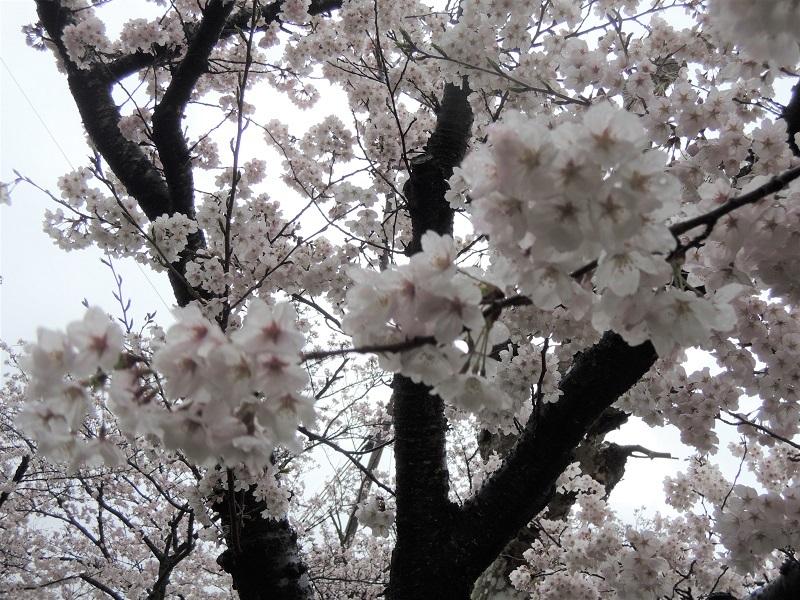 近所の公園の桜 その1