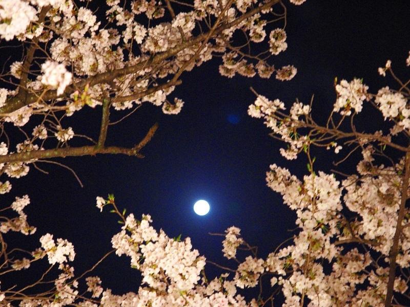 桜と満月の競演