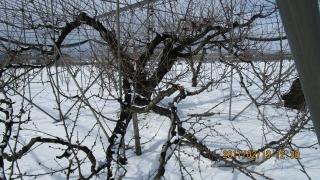 5東南の主枝