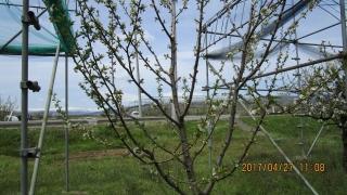 1紅きらり樹