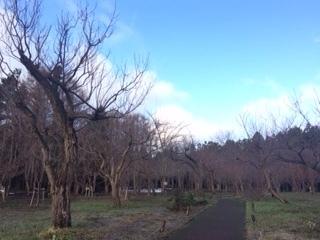 梅とさくら林