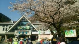 高尾山駅・サクラ