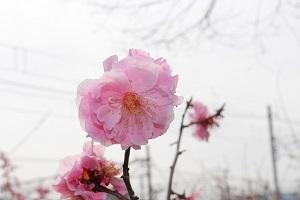 2017.04.09 梅小路エコわんマルシェ-2