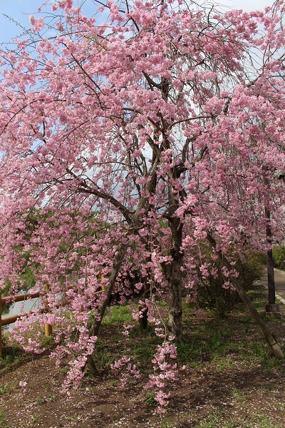 2017.04.17 満開の桜(長岡天満宮)①-1