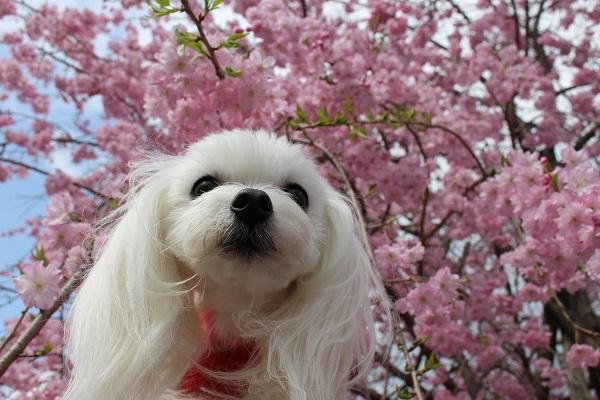 2017.04.17 満開の桜(長岡天満宮)①-2