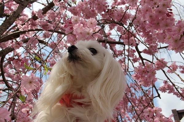 2017.04.17 満開の桜(長岡天満宮)①-3