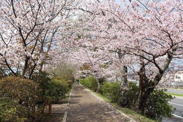 2017.04.17 満開の桜(長岡天満宮)①-6