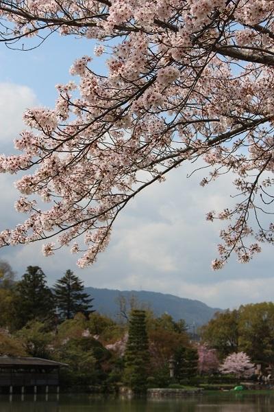 2017.04.17 満開の桜(長岡天満宮)①-8