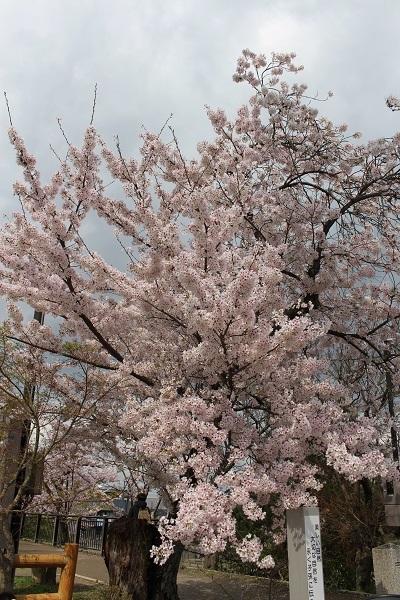 2017.04.17 満開の桜(長岡天満宮)①-11