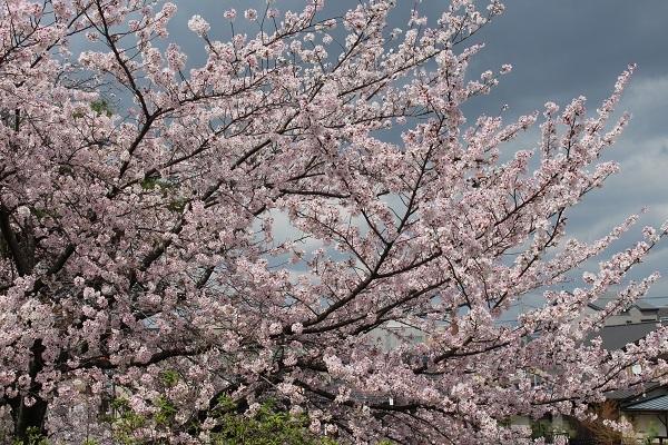 2017.04.17 満開の桜(長岡天満宮)①-14