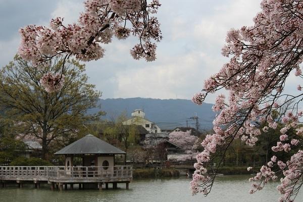 2017.04.17 満開の桜(長岡天満宮)①-15