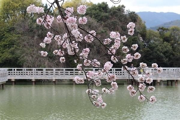 2017.04.17 満開の桜(長岡天満宮)①-16