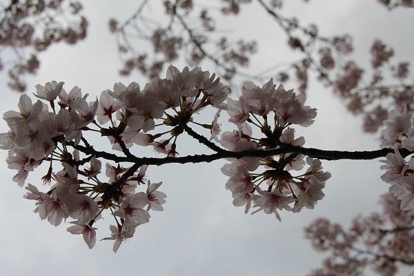 2017.04.17 満開の桜(長岡天満宮)①-18