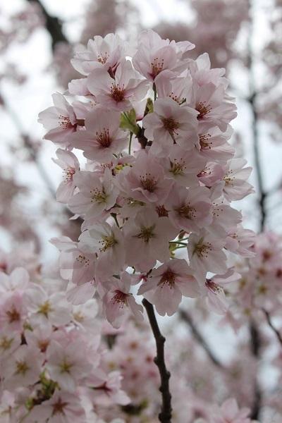 2017.04.18 満開の桜(長岡天満宮)②-1