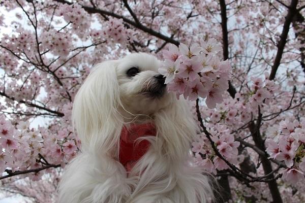 2017.04.18 満開の桜(長岡天満宮)②-2