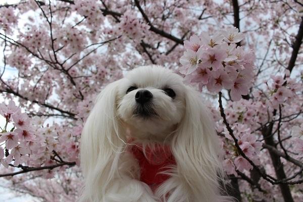 2017.04.18 満開の桜(長岡天満宮)②-3