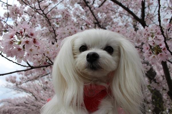 2017.04.18 満開の桜(長岡天満宮)②-4
