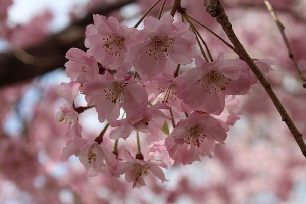 2017.04.18 満開の桜(長岡天満宮)②-6