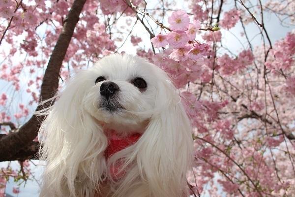 2017.04.18 満開の桜(長岡天満宮)②-7