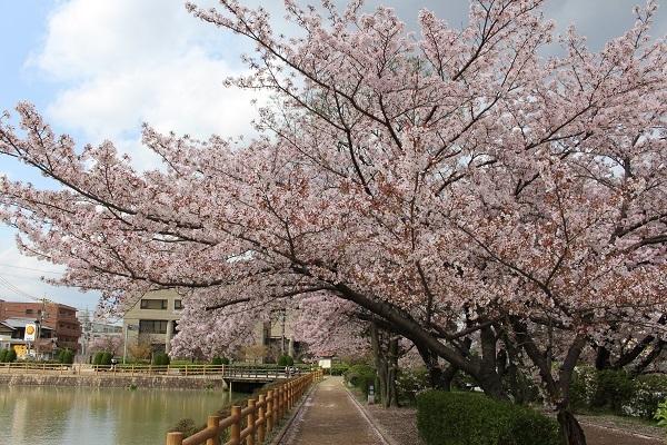 2017.04.18 満開の桜(長岡天満宮)②-8