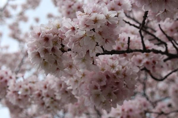 2017.04.18 満開の桜(長岡天満宮)②-9