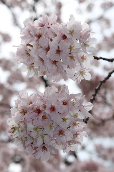 2017.04.18 満開の桜(長岡天満宮)②-10