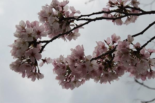 2017.04.18 満開の桜(長岡天満宮)②-11