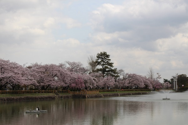 2017.04.18 満開の桜(長岡天満宮)②-12