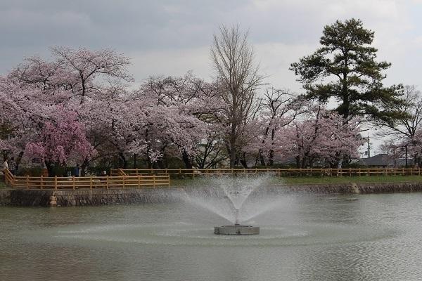 2017.04.18 満開の桜(長岡天満宮)②-13