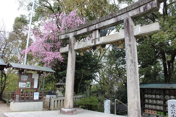 2017.04.18 満開の桜(長岡天満宮)②-17