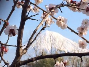 梅と富士 2017.3.1