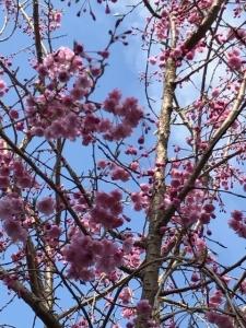しだれ桜2017.4.12