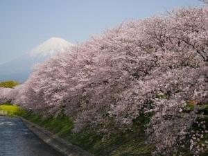 桜富士山2017.4.15