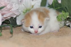 宮城県仙台、塩釜のペットショップ/スコティッシュフォールドブリーダー直販子猫産まれました