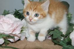 宮城県仙台、塩釜のペットショップ/子猫情報/マンチカン子猫販売