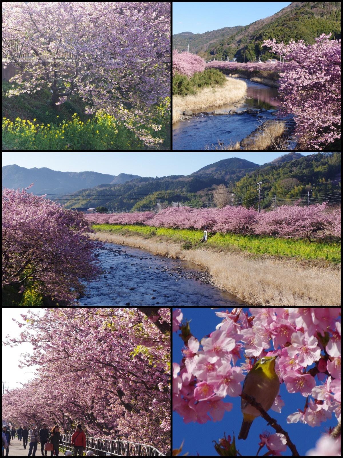 河津桜まつり2017