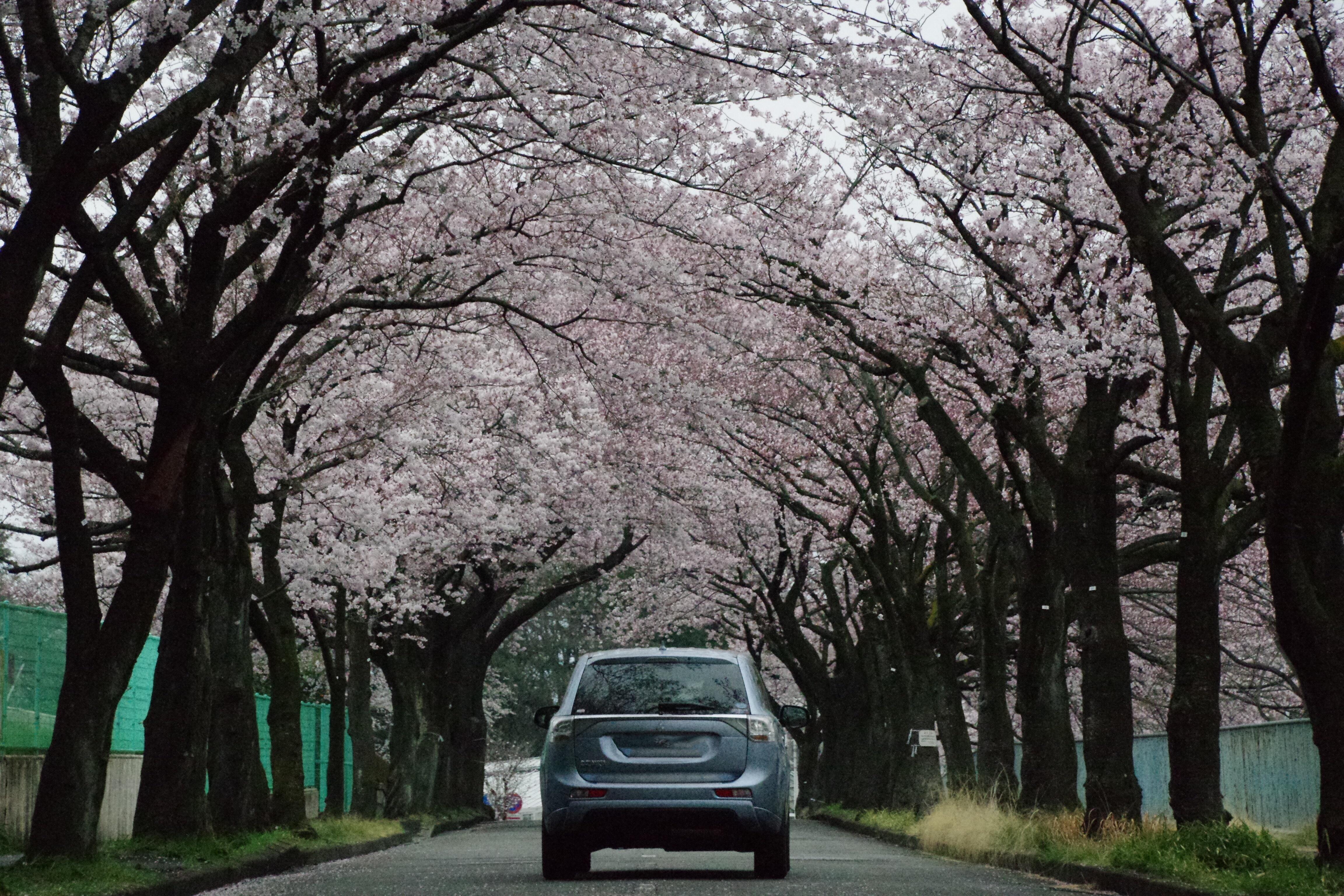 アウトランダーPHEV 桜トンネル 川崎フルーツパーク