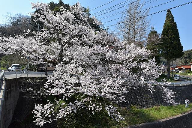佐々木桜1