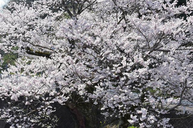 佐々木桜2