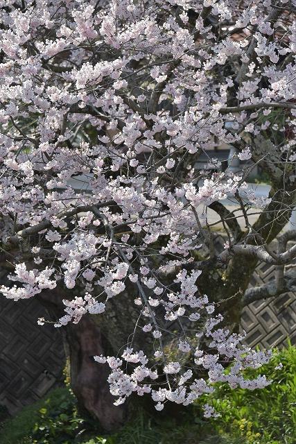 佐々木桜3