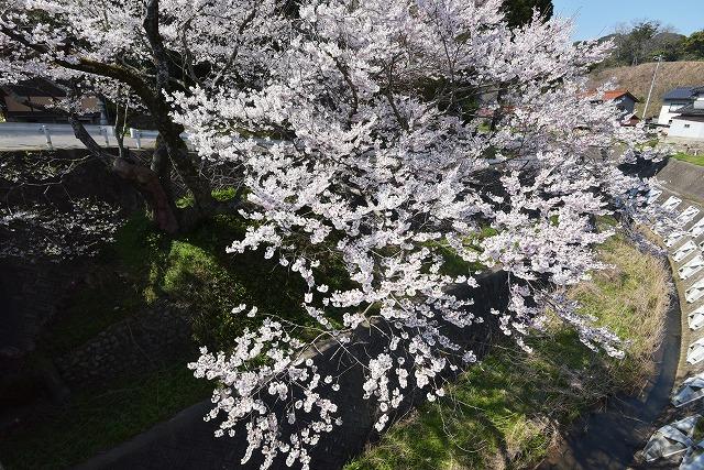佐々木桜8