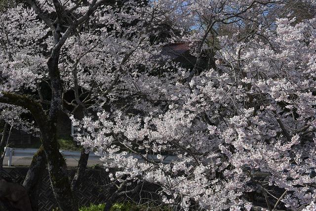 佐々木桜10