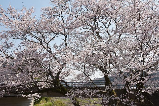 佐々木桜11