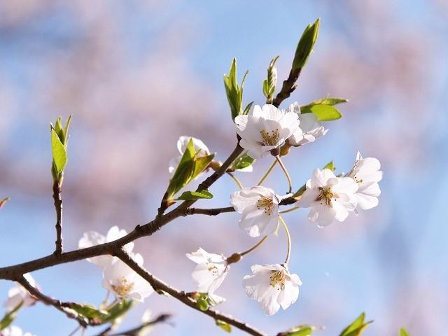 佐々木桜13